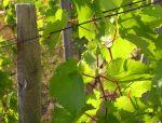 Sol·licitud d'arrancada de vinya de vinificació
